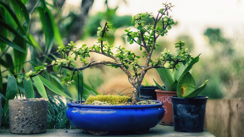 A Beginner's Guide to Bonsai Trees - Arborist Now