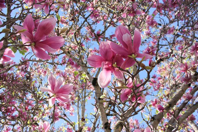 The Top Flowering Trees For Spring Arborist Now